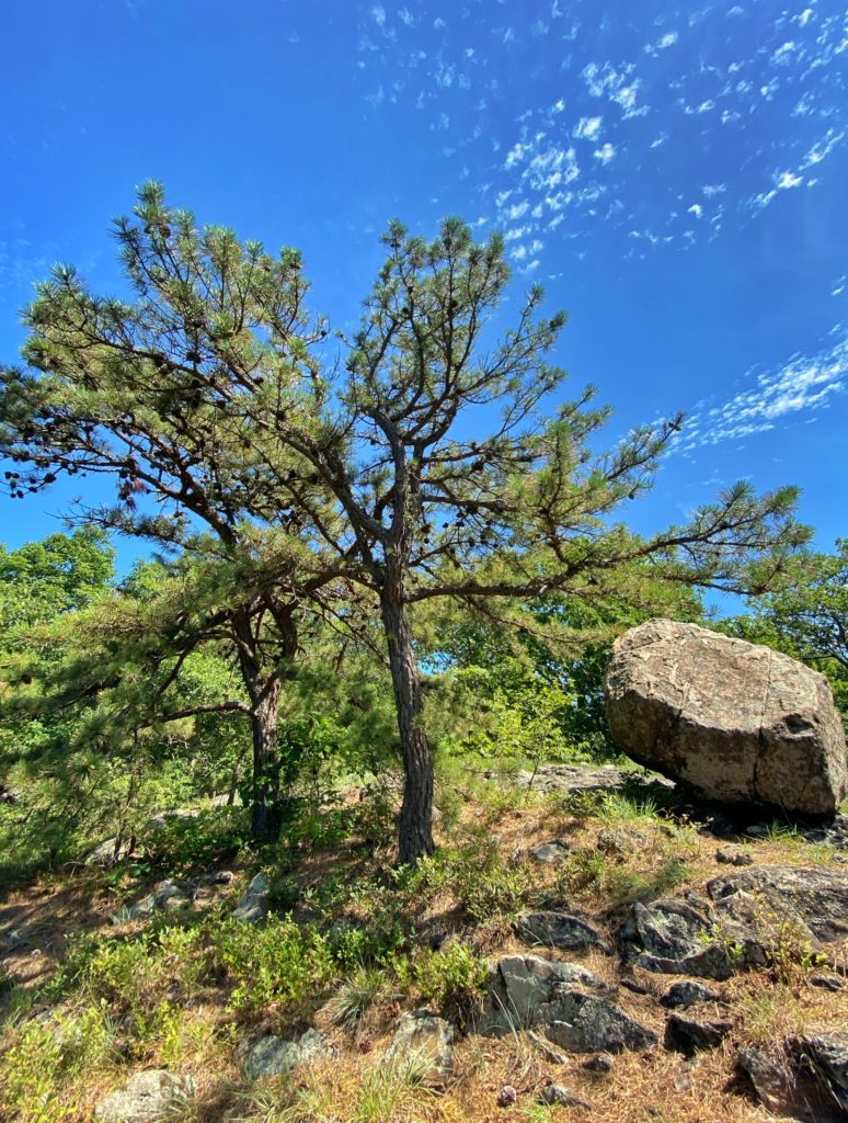 Pitch pine and glacial erratic